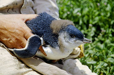 Little Blue Penguin (Eudyptula minor) biologist Phillip Duguesclin holding chick with new wing band, Port Campbell, Victoria, Australia  -  Fred Bavendam