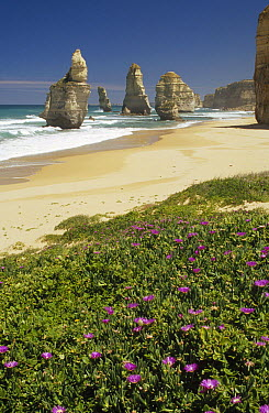 Vegetation and wildflowers at edge of Little Blue Penguin colony, with beach and Twelve Apostles sea stacks beyond, Port Campbell, Victoria, Australia  -  Fred Bavendam