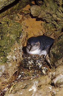 Little Blue Penguin (Eudyptula minor) on nest in a crevice between rocks rather than a burrow, Port Campbell, Victoria, Australia  -  Fred Bavendam