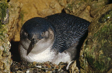 Little Blue Penguin (Eudyptula minor) on nest in a crevice between rocks instead of a burrow, Port Campbell, Victoria, Australia  -  Fred Bavendam