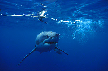 Great White Shark (Carcharodon carcharias) approaching camera, Neptune Islands, South Australia  -  Fred Bavendam