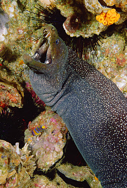 Fine-spotted Moray Eel (Gymnothorax dovii) close up portrait, Malpelo Island, Colombia  -  Fred Bavendam