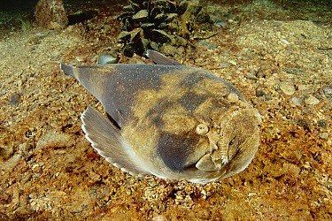 Stargazer (Kathetostoma laeve) swimming close to the ocean floor, Point Hughes, South Australia  -  Fred Bavendam