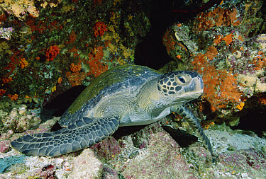 Green Sea Turtle (Chelonia mydas), Galapagos Islands, Ecuador  -  Fred Bavendam