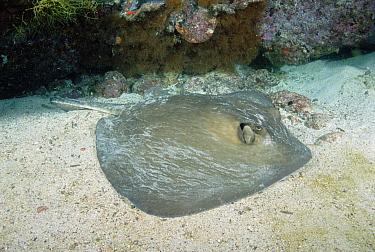 Diamond Stingray (Dasyatis brevis) lying on the bottom of the ocean floor, Galapagos Islands, Ecuador  -  Fred Bavendam