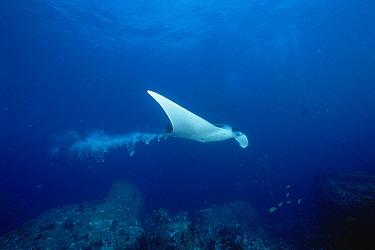 Manta Ray (Manta birostris) defecating Andaman Sea, Thailand  -  Fred Bavendam