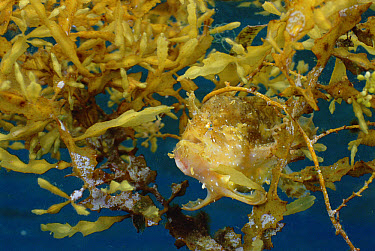 Sargassum Frogfish (Histrio histrio) camouflaged amongst Sargassum weed, Lembeh Strait, Indonesia  -  Fred Bavendam