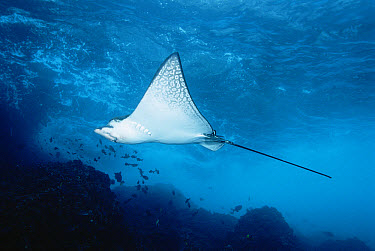 Spotted Eagle Ray (Aetobatus narinari) swimming, Galapagos Islands, Ecuador  -  Fred Bavendam