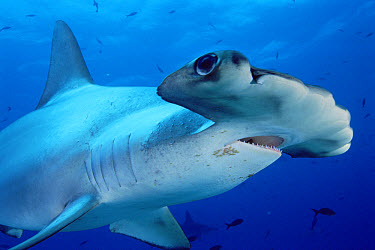 Scalloped Hammerhead Shark (Sphyrna lewini) close-up portrait Galapagos Islands, Ecuador, Ecuador  -  Fred Bavendam