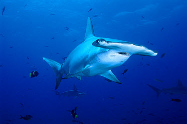 Scalloped Hammerhead Shark (Sphyrna lewini) swimming among reef fish Galapagos Islands, Ecuador  -  Fred Bavendam