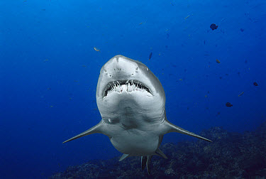 Grey Nurse Shark (Carcharias taurus) underwater portrait, New South Wales Australia  -  Fred Bavendam