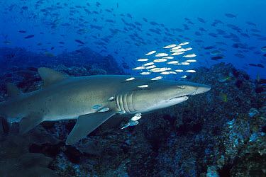 Grey Nurse Shark (Carcharias taurus) swimming among schools of fish, New South Wales Australia  -  Fred Bavendam