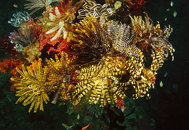 Reef detail, a section covered with crinoids, Cannibal Rock, Komodo National Park, Indonesia  -  Fred Bavendam