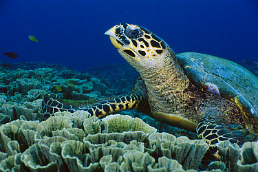 Hawksbill Sea Turtle (Eretmochelys imbricata), Gili Islands, Lombok, Indonesia  -  Fred Bavendam