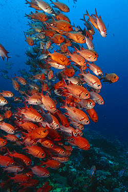 White-tipped Soldierfish (Myripristis vittata) group, Nusa Penida, Indonesia  -  Fred Bavendam