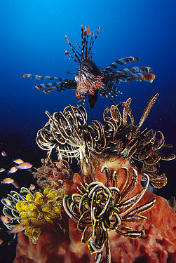 Common Lionfish (Pterois volitans) hunting among feather stars, Indonesia  -  Fred Bavendam