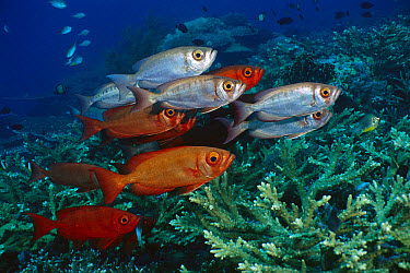 Crescent-tail Bigeye (Priacanthus hamrur) group exhibiting colorations from red to silver, Nusa Tenggara, Indonesia  -  Fred Bavendam