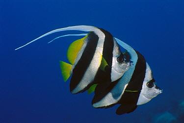 Longfin Bannerfish (Heniochus Acuminatus) pair swimming together, Bali, Indonesia  -  Fred Bavendam