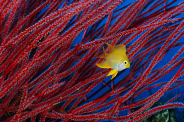 Golden Damselfish (Amblyglyphidodon Aureus) in front of Soft Coral (Ctenocella sp), Figi  -  Fred Bavendam