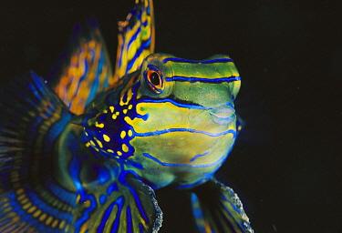 Mandarinfish (Synchiropus splendidus) male, Lembeh Strait, Indonesia  -  Fred Bavendam