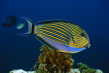 Striped Surgeonfish (Acanthurus lineatus), Bali, Indonesia  -  Fred Bavendam