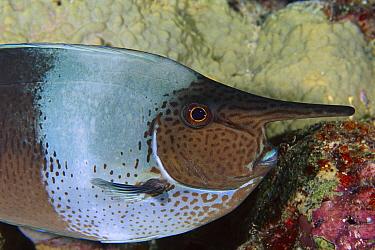 Spotted Unicornfish (Naso brevirostris), Great Barrier Reef, Australia  -  Fred Bavendam