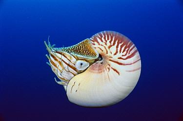 Chambered Nautilus (Nautilus pompilius), Coral Sea, Australia  -  Fred Bavendam