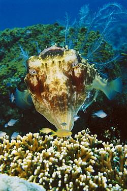 Broadclub Cuttlefish (Sepia latimanus), Bali, Indonesia  -  Fred Bavendam