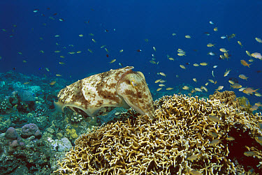 Broadclub Cuttlefish (Sepia latimanus) female laying her eggs in a family of stinging hydrocoral, Bali, Indonesia  -  Fred Bavendam