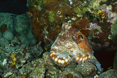 Reef Octopus (Octopus cyanea) exhibiting color change, Gili Islands, Indonesia Sequence 1 of 2  -  Fred Bavendam