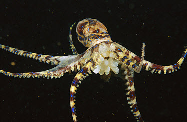 Southern Blue-ringed Octopus (Hapalochlaena maculosa) female carrying her eggs rather thanlaying them in a location, Edithburg, Australia  -  Fred Bavendam