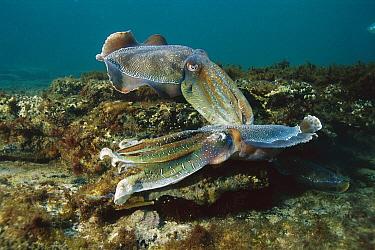 Australian Giant Cuttlefish (Sepia apama) male sparring to attain female, Australia  -  Fred Bavendam