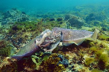 Australian Giant Cuttlefish (Sepia apama) pair mating, Whyalla, Australia  -  Fred Bavendam
