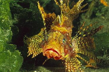 Shortfin Turkeyfish (Dendrochirus brachypterus), Bali, Indonesia  -  Fred Bavendam