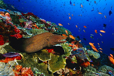 Whitemouth Moray (Gymnothorax meleagris) in coral reef, Bali, Indonesia  -  Fred Bavendam