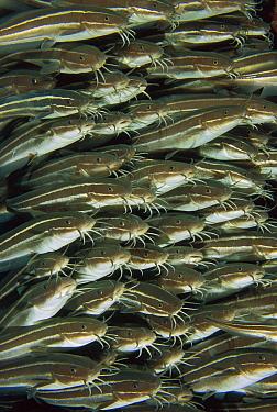 Striped Catfish (Plotosus lineatus) school, Bali, Indonesia  -  Fred Bavendam