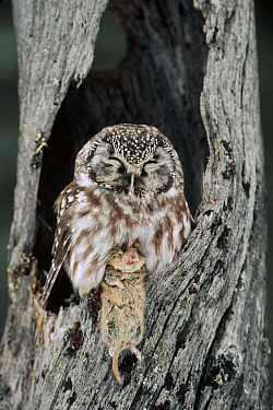 Boreal Owl (Aegolius funereus) in tree cavity with captured Bank Vole (Clethrionomys glareolus) in winter, Alaska
