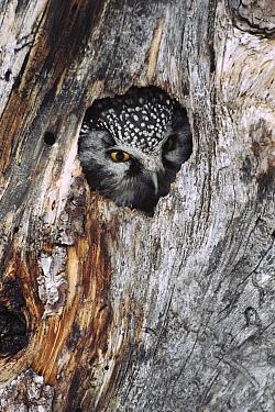 Boreal Owl (Aegolius funereus) in tree cavity in winter, Alaska