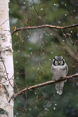 Northern Hawk Owl (Surnia ulula) perching on branch during snowfall in spring, Alaska