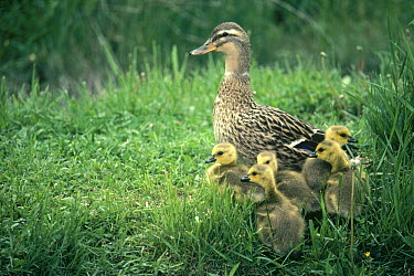 Mallard (Anas platyrhynchos) female with adopted Canada Goslings (Branta canadensis) in the spring, Idaho  -  Michael Quinton