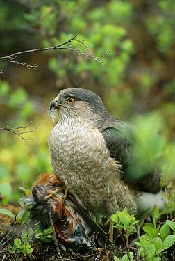 Sharp-shinned Hawk (Accipiter striatus) with captured American Robin (Turdus migratorius), North America  -  Michael Quinton