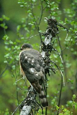 Sharp-shinned Hawk (Accipiter striatus) perching on branch, North America  -  Michael Quinton