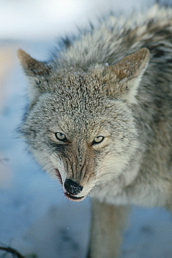 Coyote (Canis latrans) snarling while feeding on deer carcass, North America