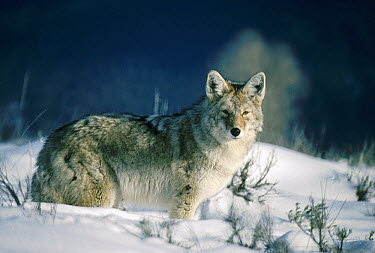 Coyote (Canis latrans) portrait in snow, North America  -  Michael Quinton