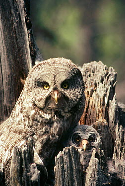 Great Gray Owl (Strix nebulosa) parent with chick in nest cavity in the spring, Idaho  -  Michael Quinton