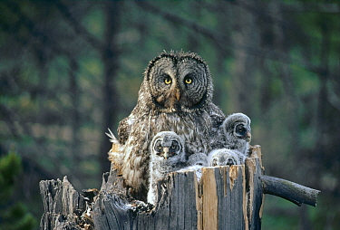 Great Gray Owl (Strix nebulosa) parent with owlets in nest cavity at top of snag, Idaho