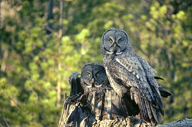 Great Gray Owl (Strix nebulosa) couple in nest cavity at top of snag in the spring, Idaho  -  Michael Quinton