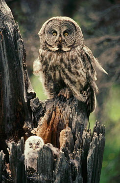 Great Gray Owl (Strix nebulosa) parent and owlet in nest at top of a snag in the summer, Idaho  -  Michael Quinton