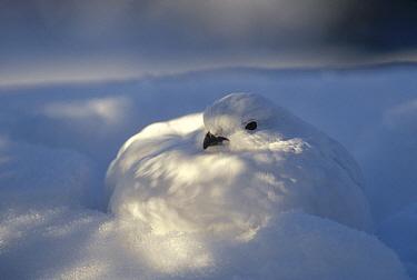 Willow Ptarmigan (Lagopus lagopus) with camouflaged winter plumage in snow burrow, Alaska  -  Michael Quinton