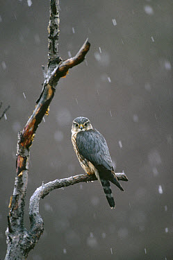 Merlin (Falco columbarius) perching in tree during snowfall, spring, Alaska  -  Michael Quinton